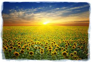 sunflower-follow-the-sun