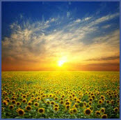 sunflowers-turn-to-the-sun